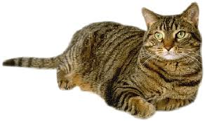 What Is A Cat Called With Tiger Like Markings