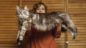 Biggest Domestic Cat Adopt A Lapcat