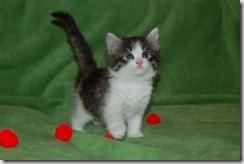 Kittens6thWeek 006