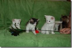 Kittens6thWeek 027